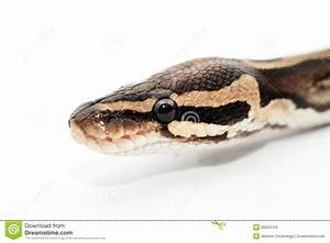 Ball Python Close Up Stock Images - Image: 28554754