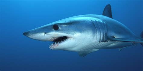 Shark Animated Wallpaper - awesome shark wallpaper in really high quality