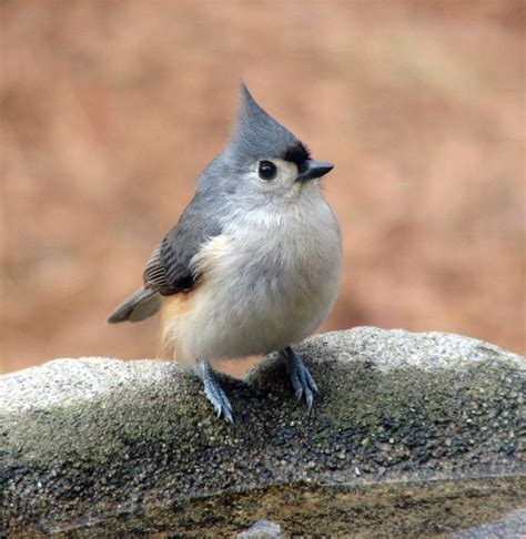 tufted titmouse friends in my backyard pinterest