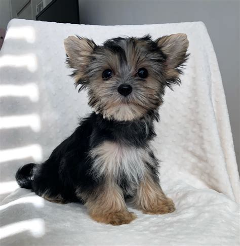 Teacup Morkie Puppy for sale! | iHeartTeacups