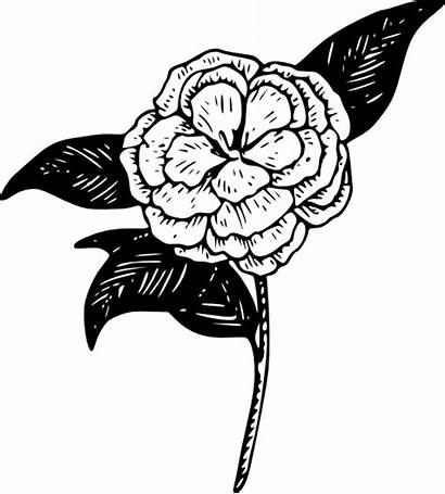 Flower Camellia Clip Coloring Clipart Vector Carnation