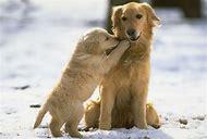 Dog and Golden Retriever Puppy