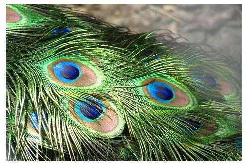 peacock feather hd images download