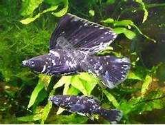 Marble Black  Mollies - Tropical - Tropicalfish-Scotland Marble Molly  Marble Molly