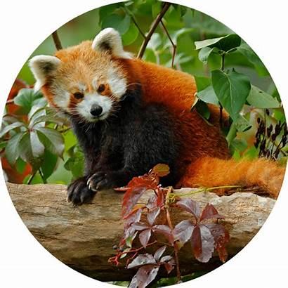 Bill Mattern Panda Orange Orchard
