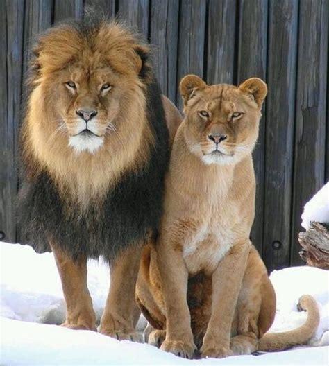 Majestic Lion & Lioness  Pet Photography Pinterest