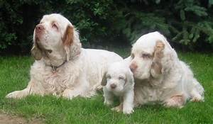 Clumber Spaniel Dog Breed Information, Puppies & Pictures