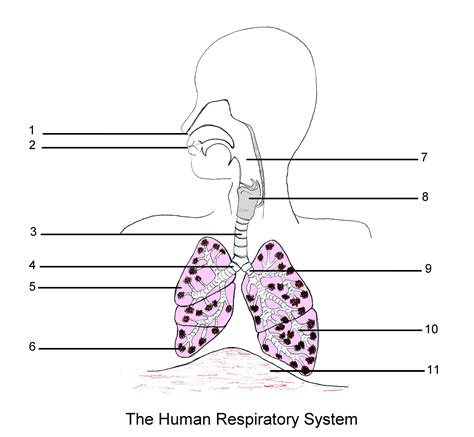 respiratory system labeled diagram worksheet archives