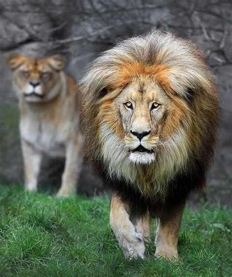 89 Best See How They Roar Images On Pinterest  Big Cats