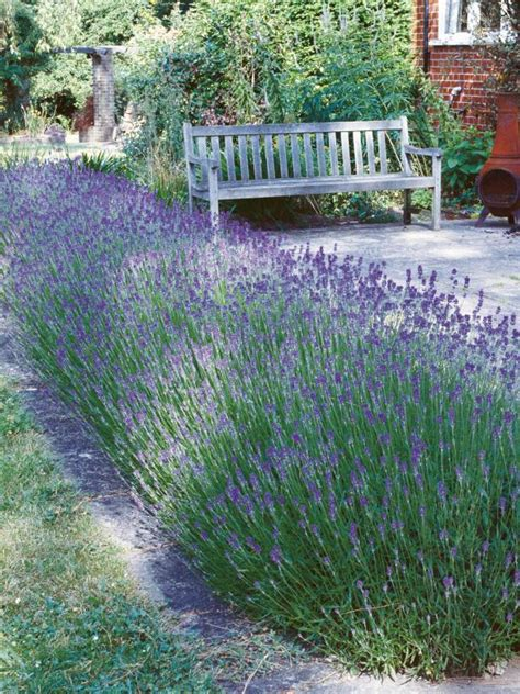 how to care for lavender bushes create and care for a lavender hedge lavender hedge