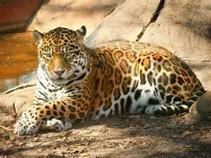 jaguar cat jaguar pictures pics images and photos for your