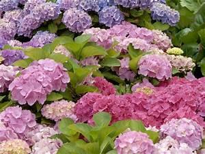 Hortensien Wann Pflanzen : hortensien schneiden hortensien richtig schneiden ~ Lizthompson.info Haus und Dekorationen