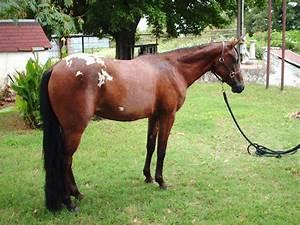 Pony of Americas (PoA) on Pinterest
