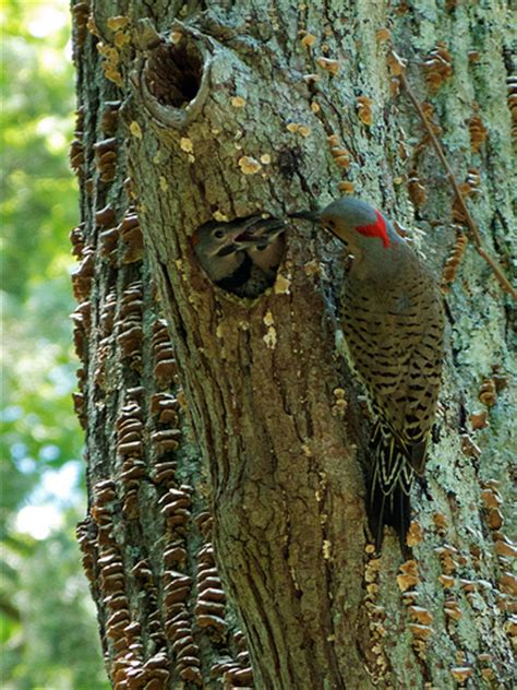 yellow shafted northern flicker male chicks nest