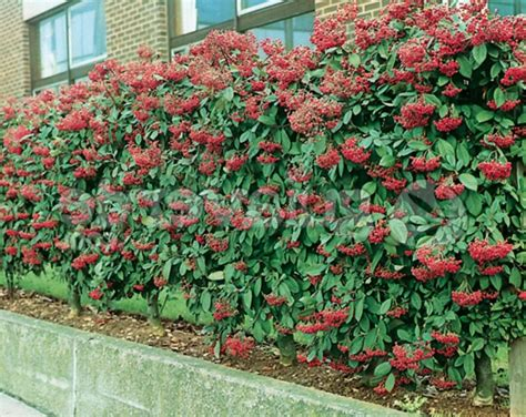 Winterharte Kletterpflanzen Für Kübel by Immergr 252 Ne Kletterpflanzen Winterhart Wohn Design