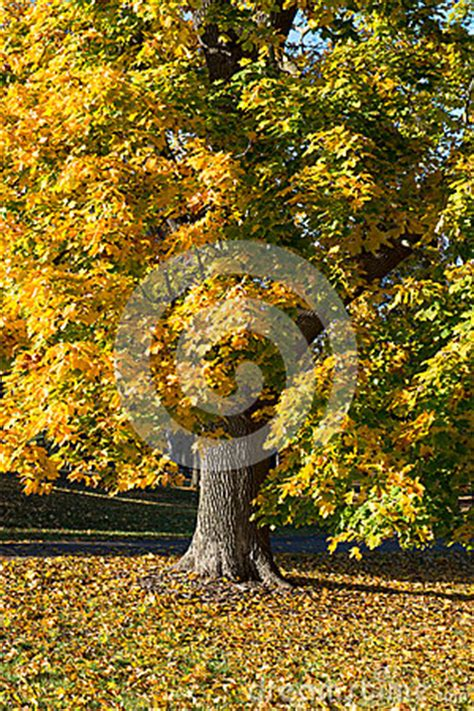what tree leaves turn in fall fall autumn colors maple tree yellow leaves stock photo