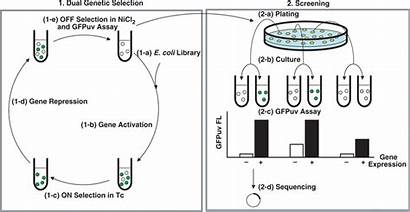 Selection Genetic Process Screening Gene Schematic Switches