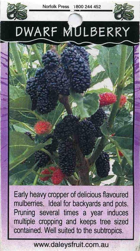 dwarf mulberry buy dwarf mulberry early heavy cropper