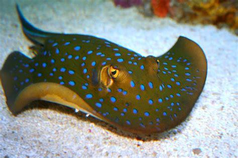 stingray spotted yellow spots eyes venomous ocean wow stingrays sea aquarium creatures underwater flickr fish tropical eye colorful deep baby