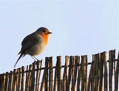 Robin European Animated Gifs Birds Gifmania