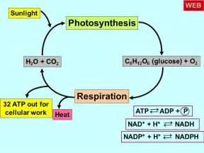 Photosynthesis and Cellular Respiration Diagram