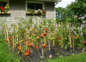 tomatoes in the garden picture of garden tomatoes png