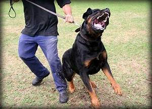 guard dog training centre obedience protection With rottweiler guard dog training