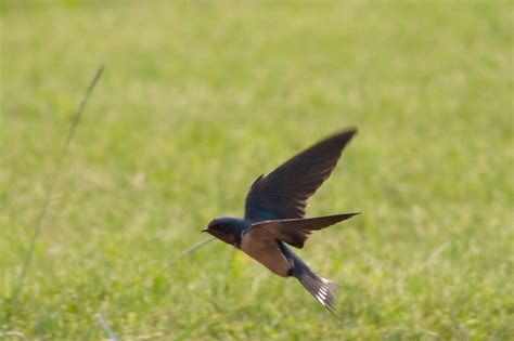 what do barn swallows eat impaled martin purple martin forum