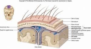 Brain  U0026 Cranial Nerves At Cypress College