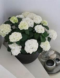 Pflanzen Im Treppenhaus : wei e hortensie pflanze im topf dekoration f r die treppe das treppenhaus foto und interieur ~ Orissabook.com Haus und Dekorationen