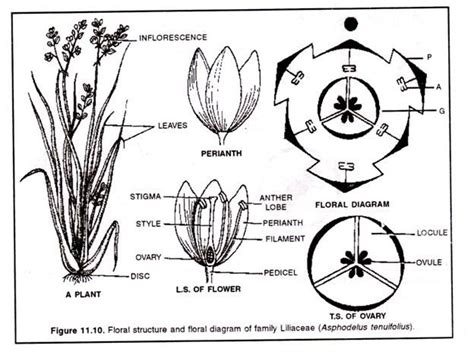 Anacardiaceae Diagram Of The Flower Floral by Families Of Flowering Plants And Their Economic Importance