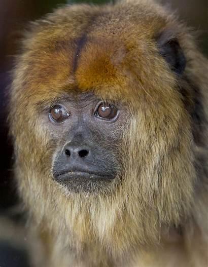 Monkey Howler Zoo Animal Avyanna Displayed Adopted