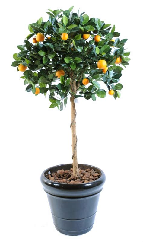 taille d un oranger en pot 28 images viburnum tinus