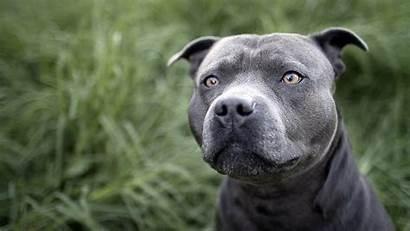 Pitbull Desktop Dogs Grass Wallpapers Dog Pit