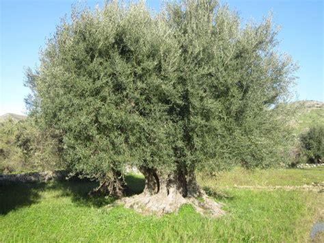 piante da giardino sempre verdi alberi sempreverdi da giardino alberi piante