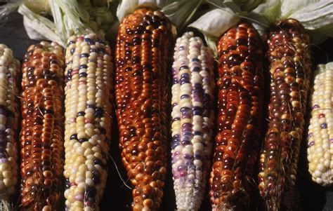 multicoloured corn sweet corn kernels can vary in colour by penny woodward
