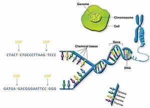Genetics  U00ab Kaiserscience