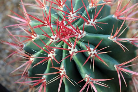 barrel cactus  red spikes  public domain stock