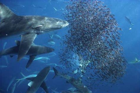 shark feeding frenzy  howstuffworks