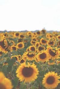 Sunflower Photography On Tumblr