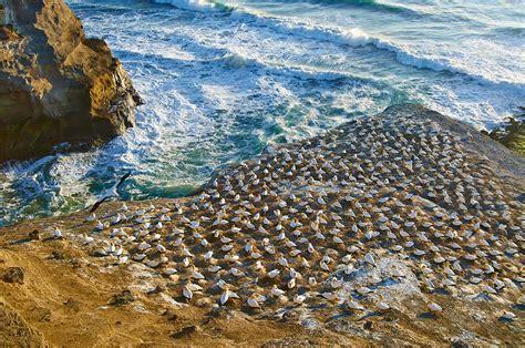 gannet colony  muriwai beach
