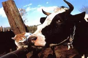 cat and cow animal pictures cat and cow