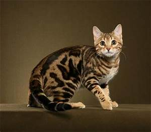 Wildcat Hybrid Cats
