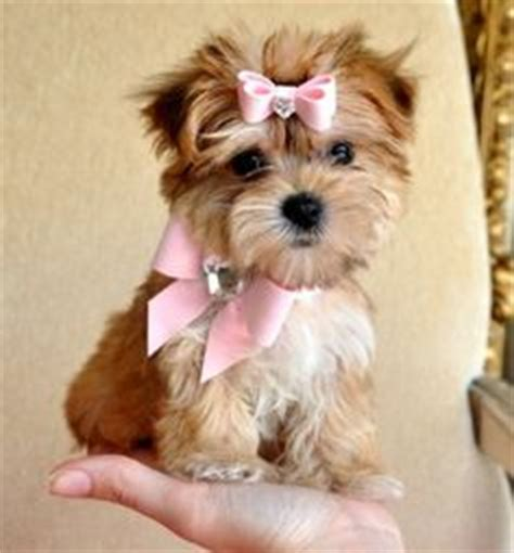 adorable morkie puppy at teacups puppies and boutique