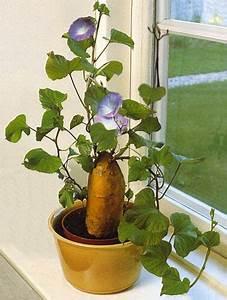 Culture De La Patate Douce : l gumes et fruits de saison vos suggestions page 2 ~ Carolinahurricanesstore.com Idées de Décoration