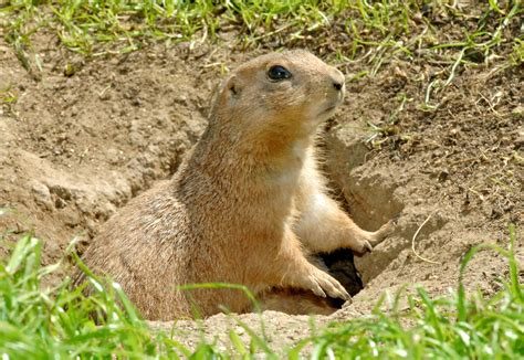 shaw flooring bryson city nc prairie dogs as pets 28 images prairie dogs a cute a day prairie dog lover s burrow a