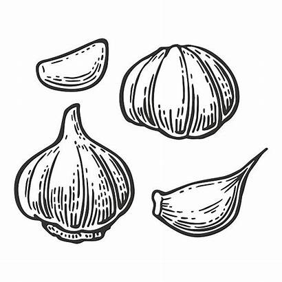 Garlic Vector Clove Illustration Clip Background Engraving