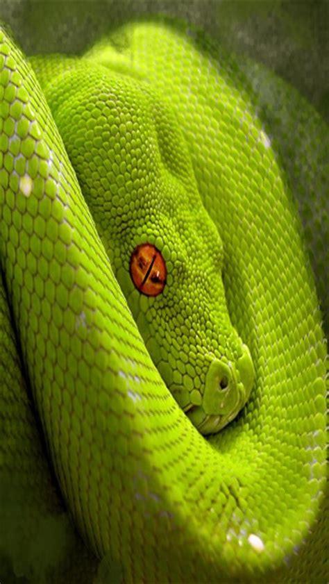 Green Animal Wallpaper - green snake 2 animal iphone wallpapers iphone 5 s 4 s