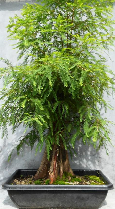Another Cypress Gets Defoliated  Bonsai South