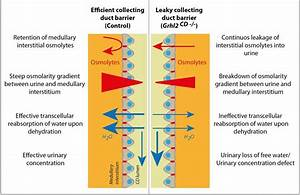 Kidney Collecting Duct Function